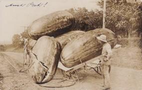 Ak - Pferde Fuhrwerk mit Riesengurken hat einen Achsbruch und verliert eine Gurke - 1909